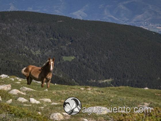 Free horses in Catalonia on Molleres del Puigpedrós in Cerdanya